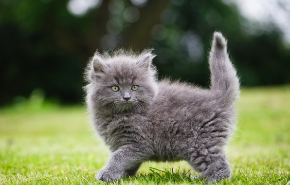 Picture grey, fluffy, kitty