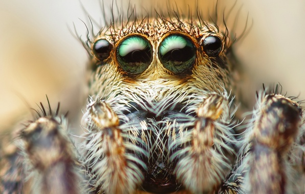 Picture eyes, macro, spider, hairs