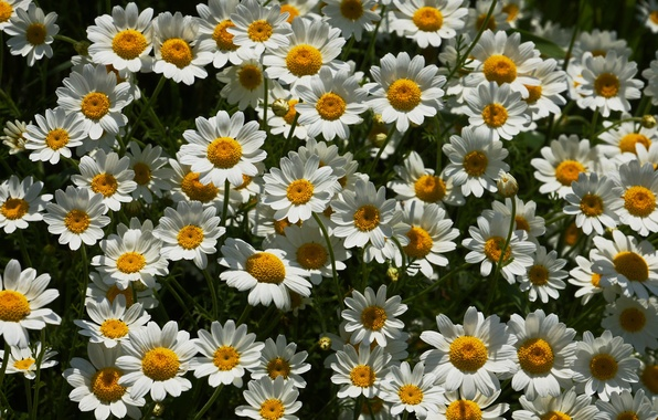 Picture chamomile, a lot, loves me - loves me not