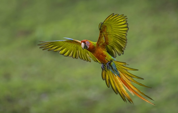 Picture wings, feathers, parrot, tail, flight, Ara
