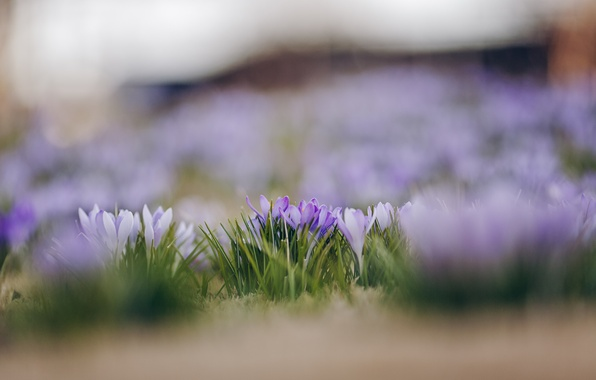 Picture macro, flowers, focus, spring, petals, blur, white, lilac, Crocuses