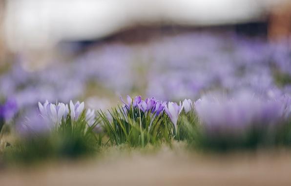 Picture macro, flowers, focus, spring, petals, blur, white, lilac, Crocuses