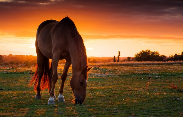 Picture field, sunset, horse, horse, pasture