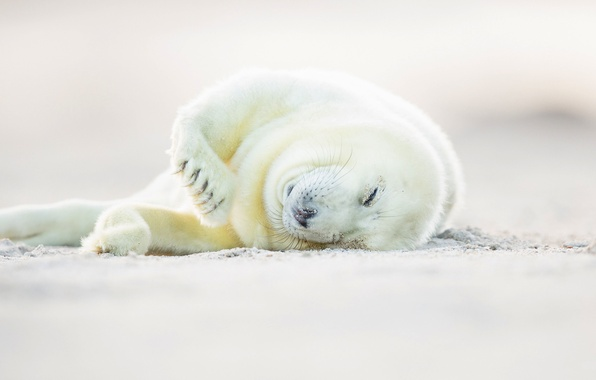Picture white, cub, glennamaddy seal, hook-nosed seal, tevak, grey seal, Halichoerus grypus