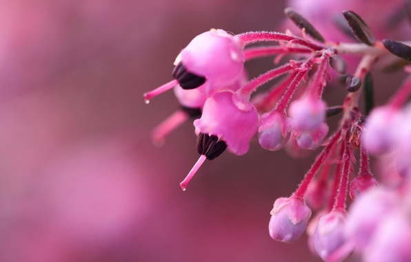 Picture macro, flowers, background, Bush, branch, blur, pink, buds, flowers, bokeh, Heather