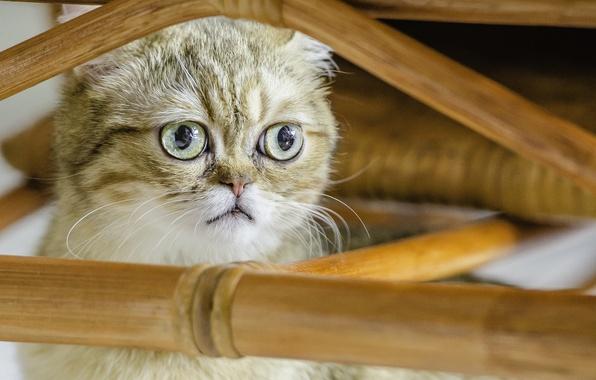 Picture cat, look, Koshak, Shorthair