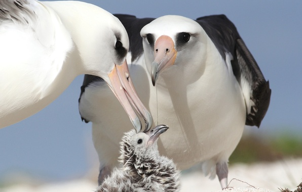 Picture birds, chick, parents, albatrosses