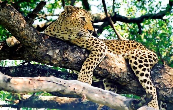 Picture look, tree, stay, predator, leopard