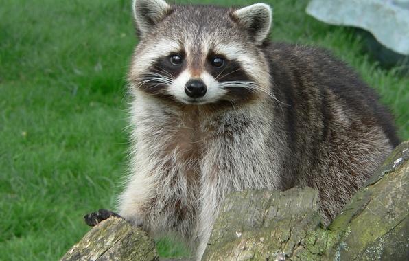 Picture mustache, nose, raccoon, beast, looks