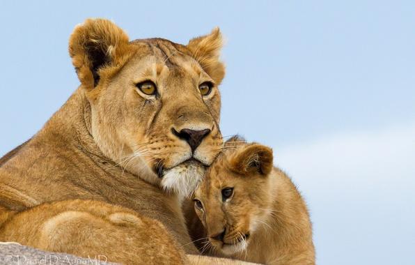 Picture cub, lions, lioness, lion, motherhood