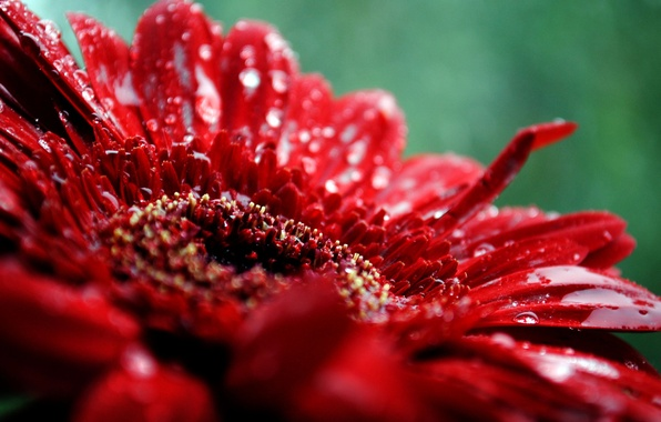 Picture flower, drops, macro, red, plant, petals