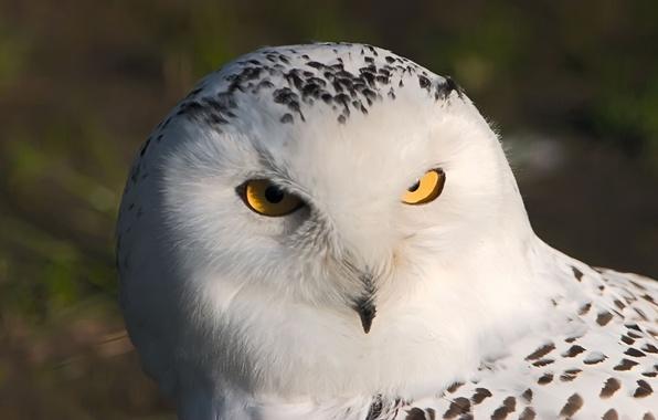 Picture white, eyes, macro, owl, bird, owl