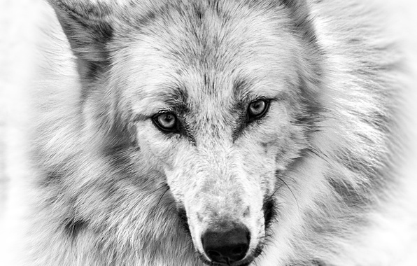 Picture eyes, look, figure, wolf, pencil