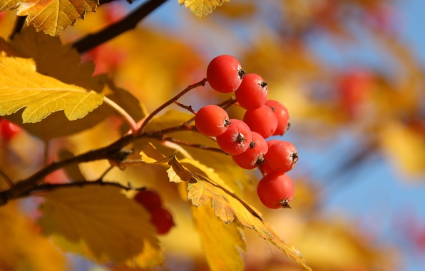 Picture autumn, leaves, yellow, red, tree, berry, Rowan