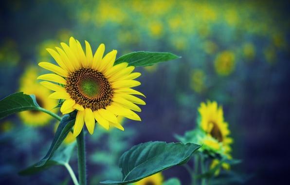 Picture field, sunflowers, glare, focus, razmytost