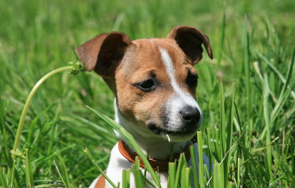 Picture dogs, nature, dog, spring, puppy, Jack Russell