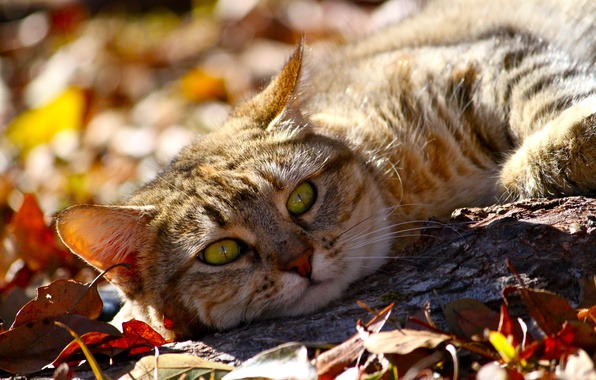 Picture autumn, cat, look, face, leaves, animal, lies