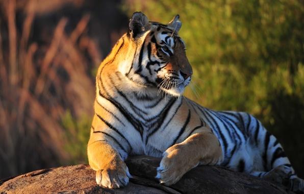 Picture tiger, stone, predator, beast