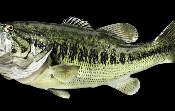 Picture green, body, fish, head, mouth, scales, perch