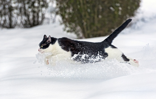 Picture winter, cat, cat, snow, runs, ©Tambako The Jaguar