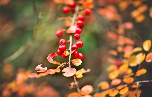 Picture autumn, leaves, macro, branch, yellow, Berries, bunch, red, bokeh