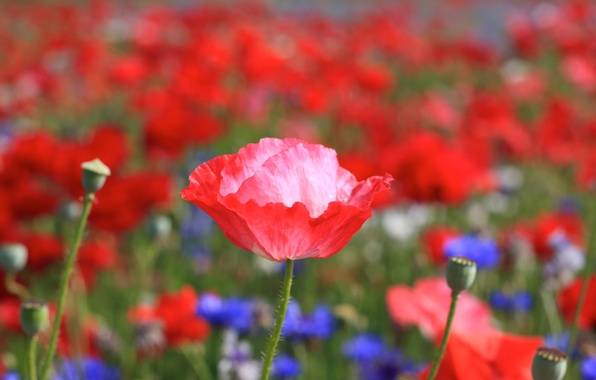 Picture field, flower, summer, flowers, red, bright, heat, pink, glade, plant, Mac, petals, stem, Bud, blue