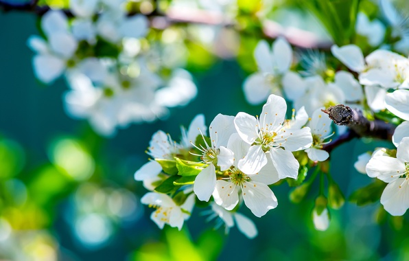 Picture tree, branch, spring, Sunny, Apple, flowering, flowers