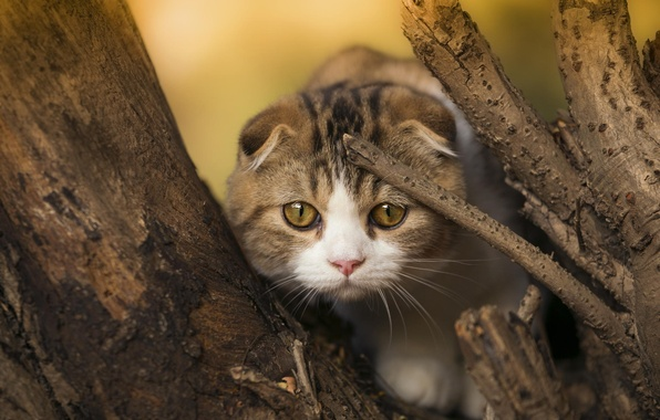 Picture cat, look, kitty, tree, muzzle, Scottish fold