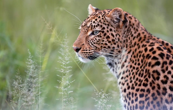 Picture portrait, predator, leopard, wild cat