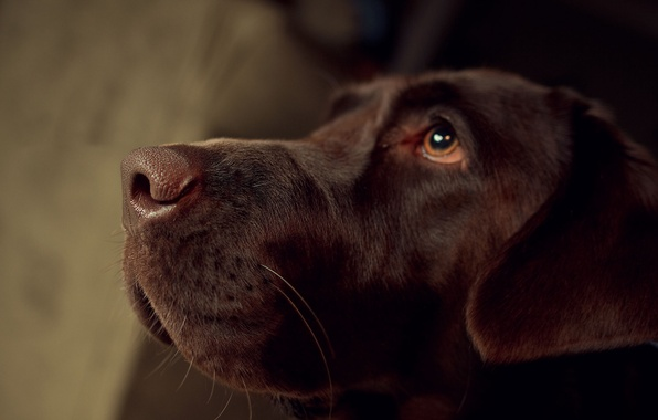 Picture dog, nose, Labrador
