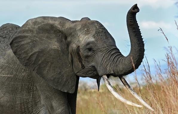 Picture elephant, Savannah, Africa, tusks, trunk