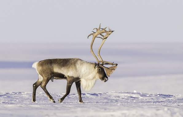 Picture snow, horns, tundra, reindeer