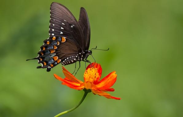 Picture flower, butterfly, flower, butterfly, zinnia, zinnia