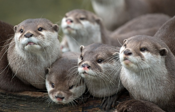 Picture faces, look, family, otters