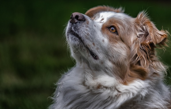 Picture face, portrait, dog, Australian shepherd, Aussie