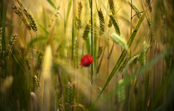 Picture field, flower, flowers, red, one, Mac, Maki, spikelets