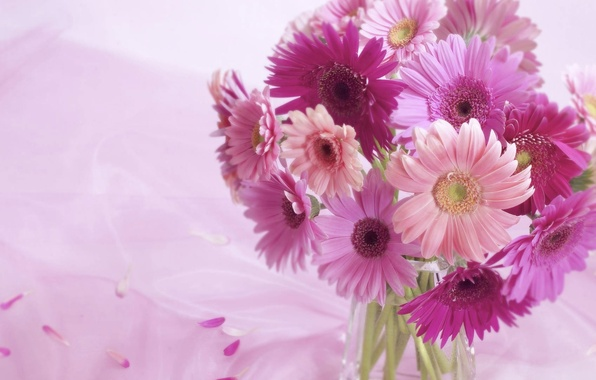 Picture background, pink, Flowers, gerbera