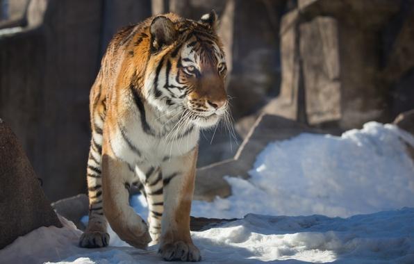 Picture winter, snow, tiger, predator, wild cat