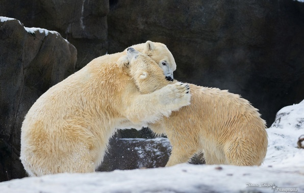 Picture winter, snow, rocks, the game, predators, fight, fight, pair, zoo, polar bears, disassembly, polar bears