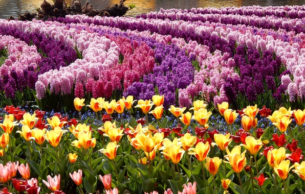 Picture photo, Flowers, Tulips, Park, A lot, Hyacinths