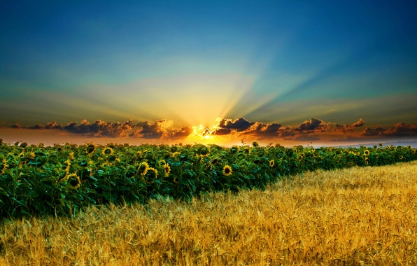 Picture field, the sky, the sun, clouds, sunflowers, ears