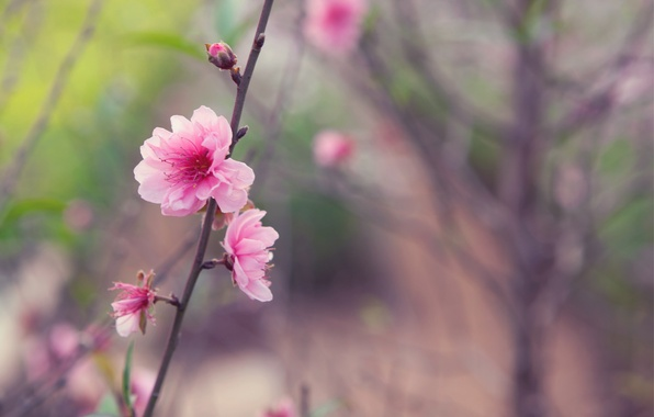 Picture flower, macro, sprig, tree, pink, tenderness, focus, spring, Japan, blur, Sakura, buds