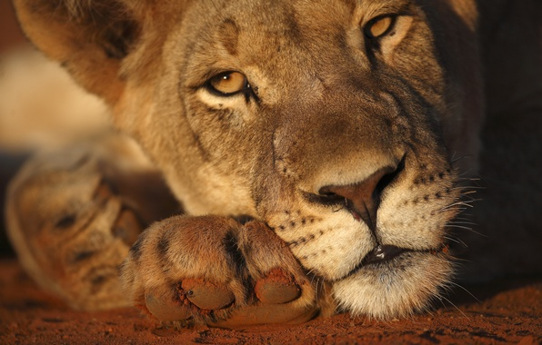 Picture sunlight, lioness, head
