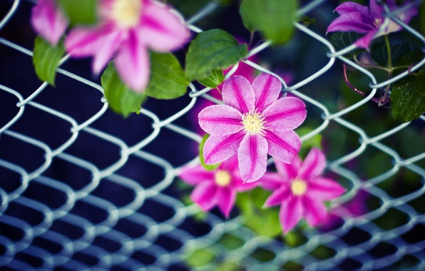 Picture leaves, flowers, background, mesh, pink, widescreen, Wallpaper, the fence, petals, wallpaper, leaves, flowers, widescreen, background, …