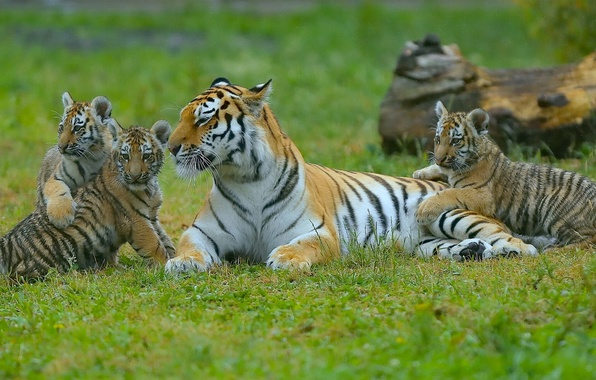 Picture kittens, tigers, tigress, the cubs, motherhood, cubs