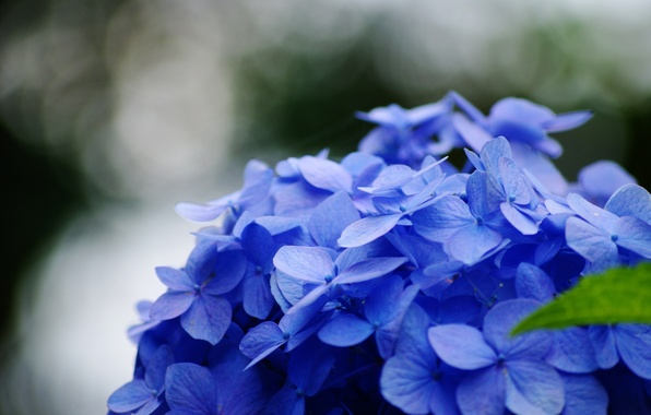 Picture flower, macro, flowers, blue, green, background, blue, widescreen, Wallpaper, blur, leaf, wallpaper, widescreen, background, full …