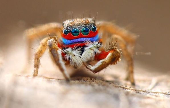 Picture eyes, macro, spider, insect