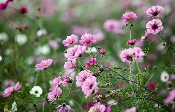 Picture greens, field, summer, grass, macro, flowers, nature, glade, plants, pink, kosmeya