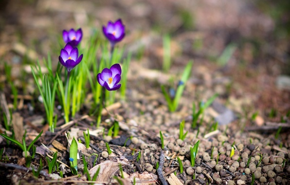 Picture macro, flowers, nature, photo, plants, spring, crocuses