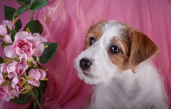 Picture roses, puppy, breed, the Sealyham Terrier